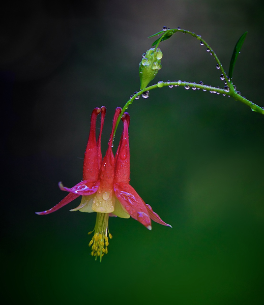 Wild Columbine - After the Rain