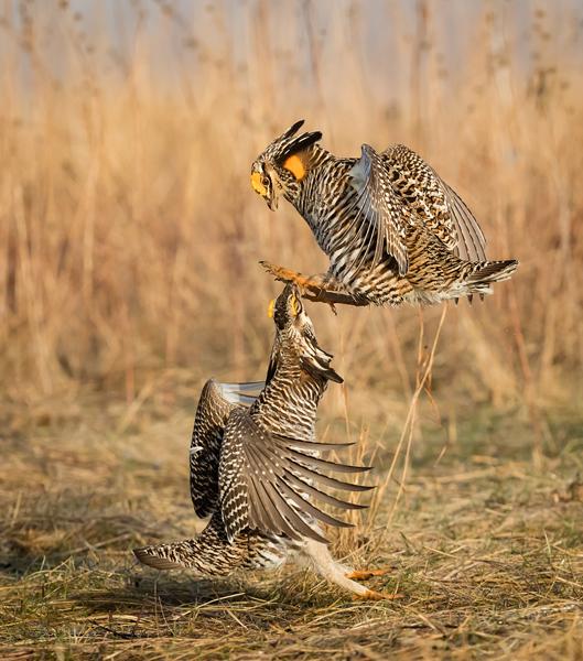 Prairie Chicken Fight