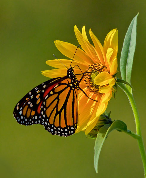 Early Morning Monarch