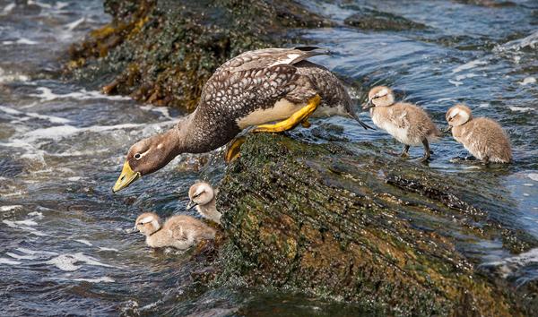 Steamer Ducks Entering Water
