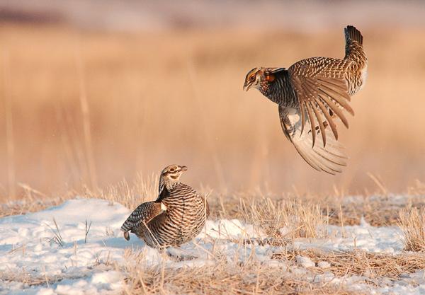 Prairie Showdown