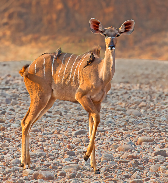 Kudu in Riverbed