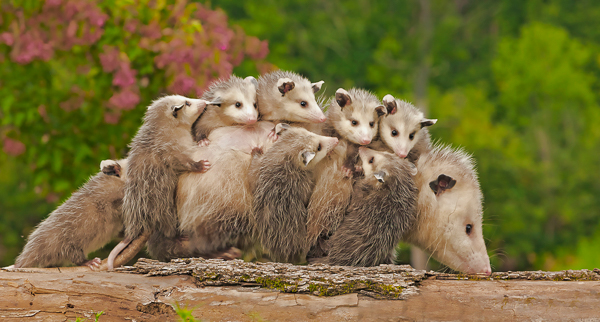 Opossum and Babies