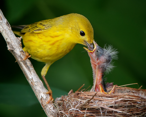 Yellow Warbler Feeding Nestling