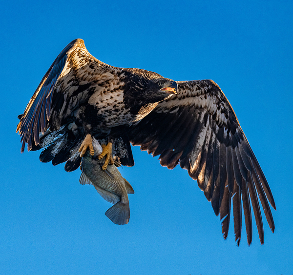 Eagle Juvy with Fish