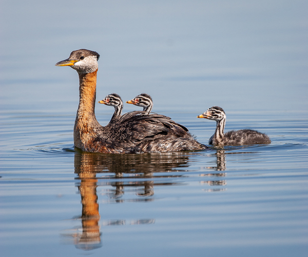 Grebe Family