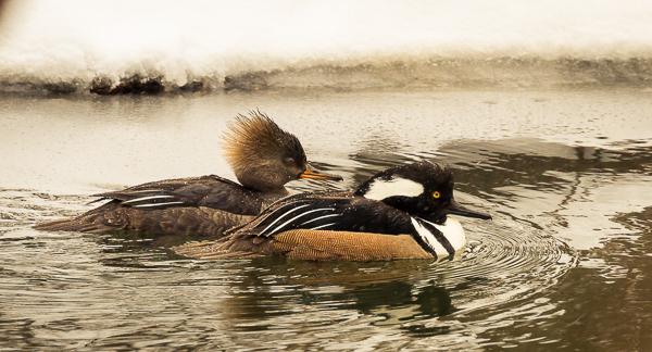 Cold Ducks 9207