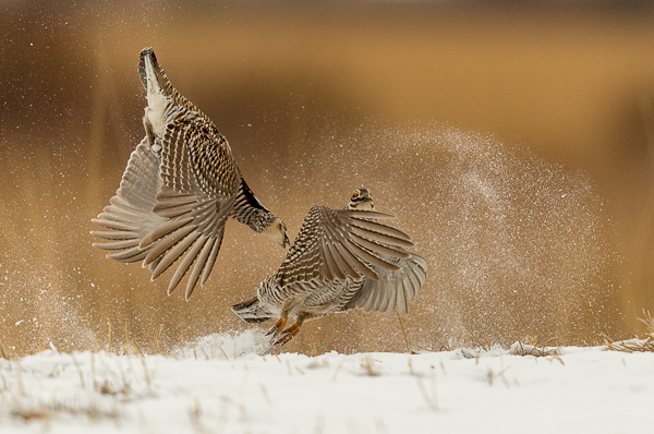 Prairie Chickens in the Snow