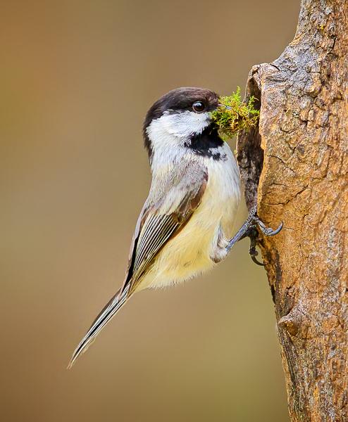Chickadee Nest Building