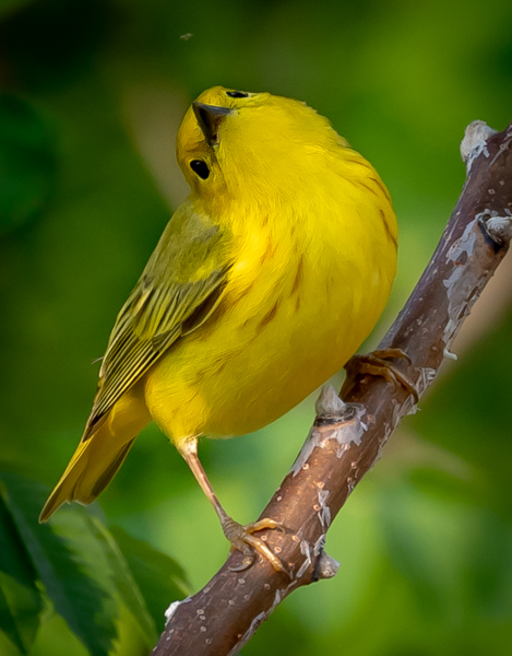 Yellow Warbler - Eyes on the Prize