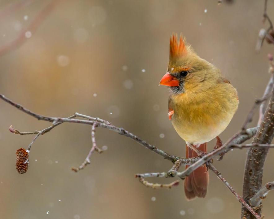 Female Cardinal in Light Snow