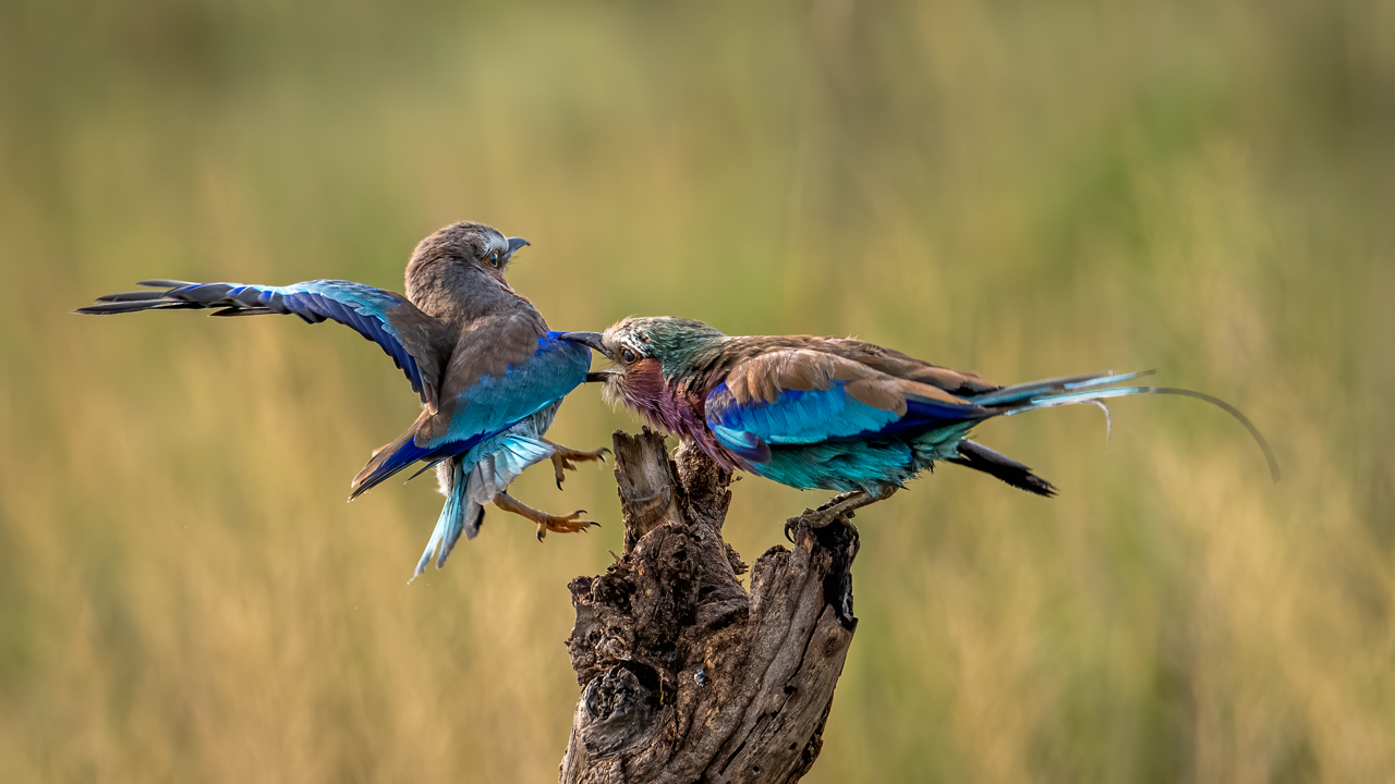 Lilac Breasted Roller Grabs Mom
