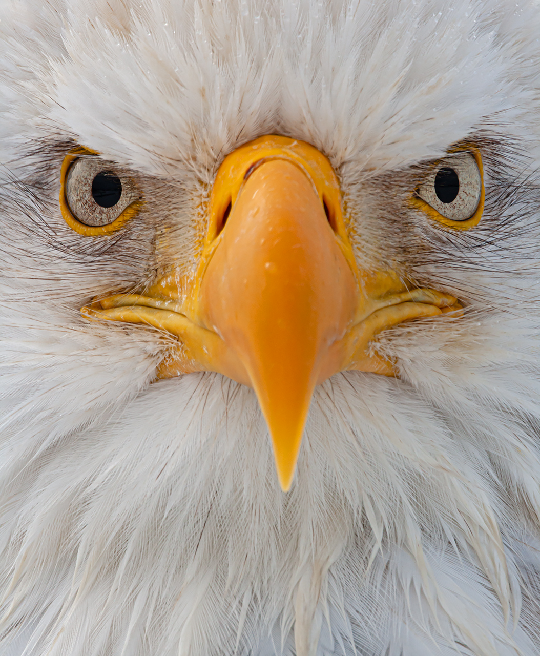 Bald Eagle Portrait Detail